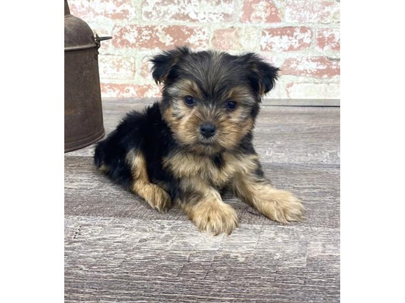Yorkshire Terrier-DOG-Male-Black / Tan-2677199-Petland Naperville