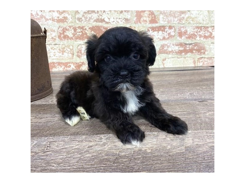 Morkie-DOG-Female-Black-2677200-Petland Aurora