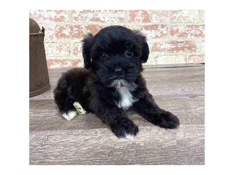 Morkie-DOG-Female-Black-2677200-Petland Naperville