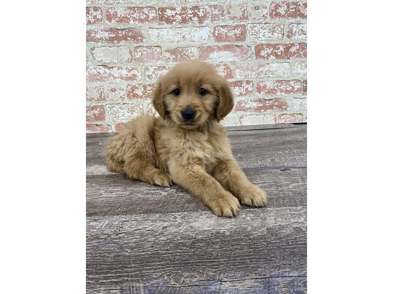 Golden Retriever-DOG-Female-Golden-2677240-Petland Aurora