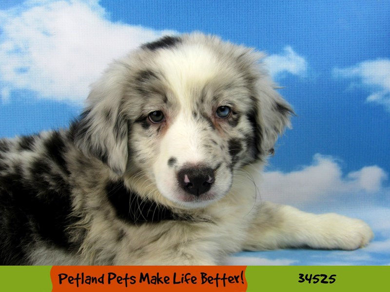 Australian Shepherd-DOG-Male-Blue Merle-2676647-Petland Naperville
