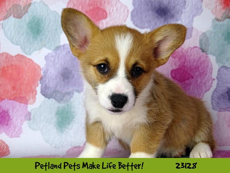 Pembroke Welsh Corgi-DOG-Female-Red-2680583-Petland Naperville