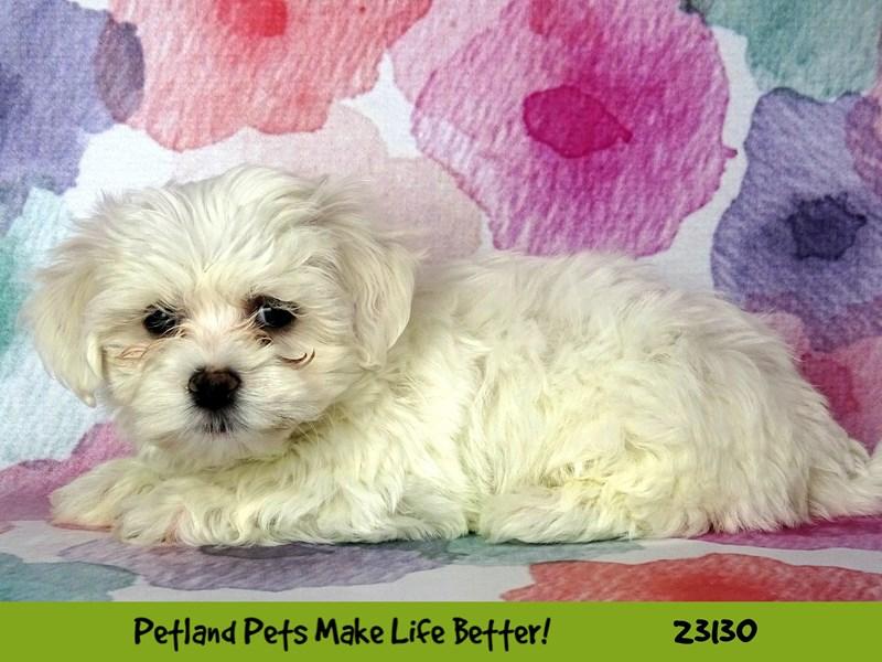 Maltese-DOG-Male-White-2680477-Petland Naperville