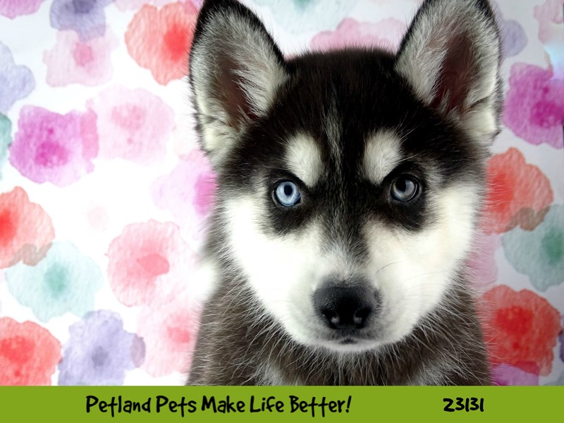 Siberian Husky-DOG-Male-Black and White-2680648-Petland Naperville