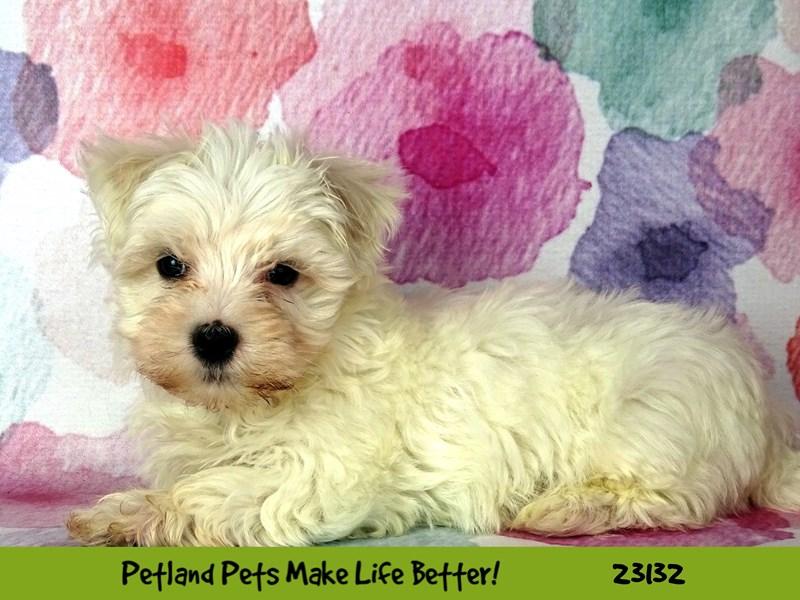 Maltese-DOG-Male-White-2680485-Petland Naperville