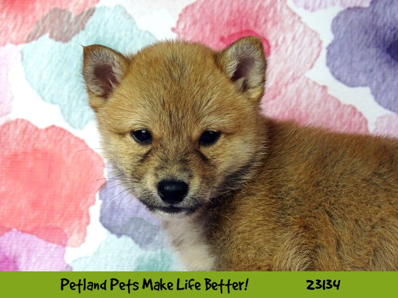 Shiba Inu-Male-Red Sesame-2681180-Petland Naperville