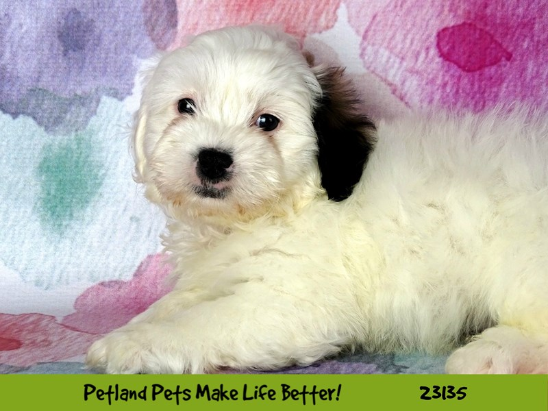 Shih Tzu/Bichon-DOG-Male-White-2681177-Petland Aurora