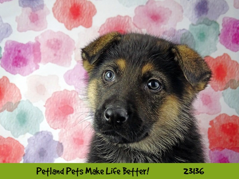 German Shepherd Dog-DOG-Male-Black / Tan-2681179-Petland Naperville