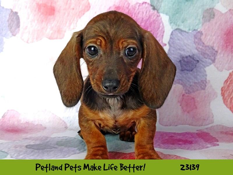 Dachshund-DOG-Female-Red Sable-2681203-Petland Naperville
