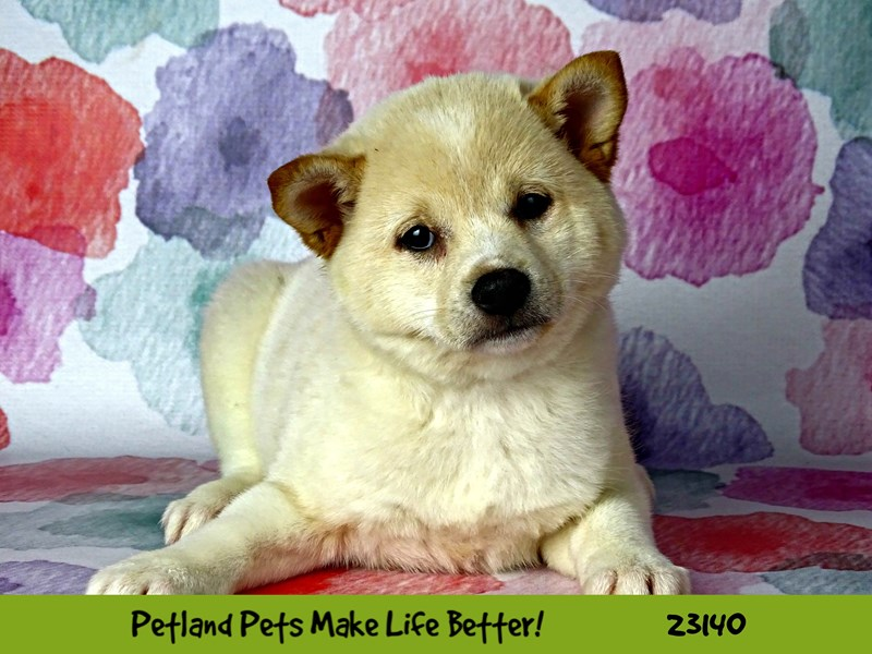 Shiba Inu-DOG-Female-Cream-2681789-Petland Naperville
