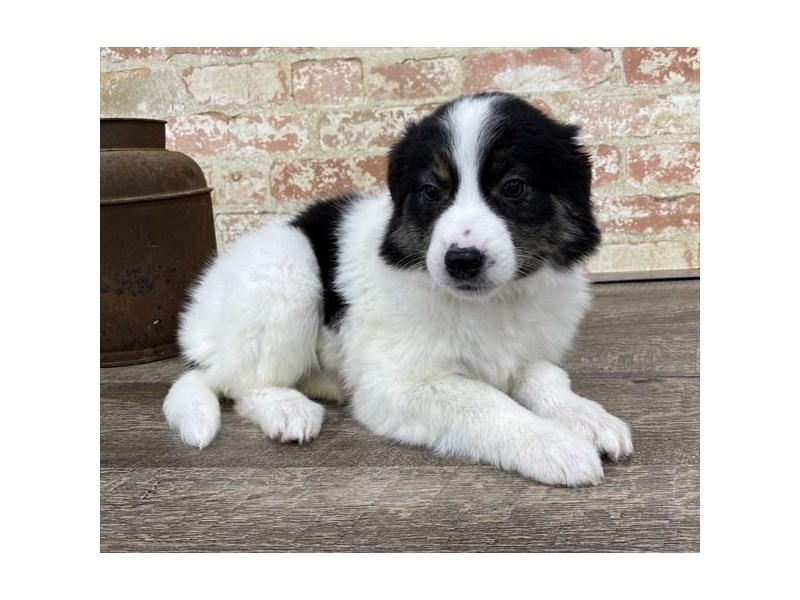 Border Collie-DOG-Female-Tri markings-2683343-Petland Naperville