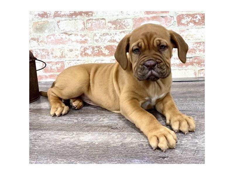 Dogue De Bordeaux-DOG-Male-Red-2683345-Petland Aurora