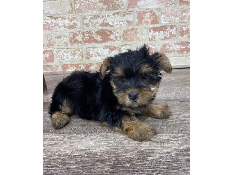 Yorkshire Terrier-DOG-Female-Black / Tan-2683348-Petland Naperville