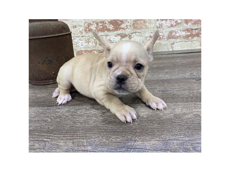 French Bulldog-Male-Cream-2683350-Petland Naperville