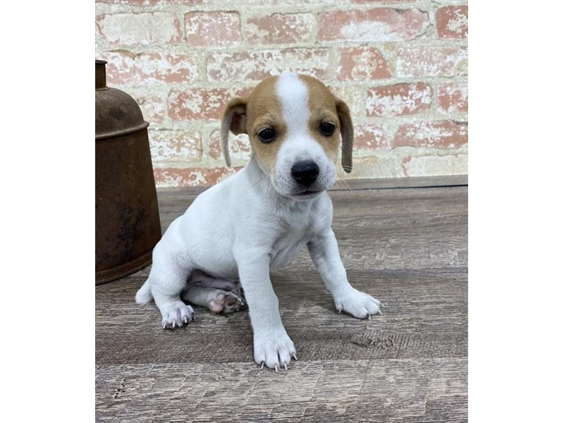 Jack Russell Terrier-Male-White-2683351-Petland Naperville