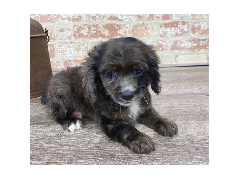 Cocker Spaniel-DOG-Female-Black / Tan-2683405-Petland Naperville