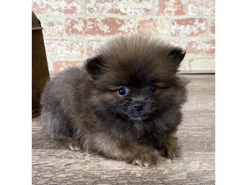 Pomeranian-DOG-Female-Black / Tan-2683407-Petland Naperville