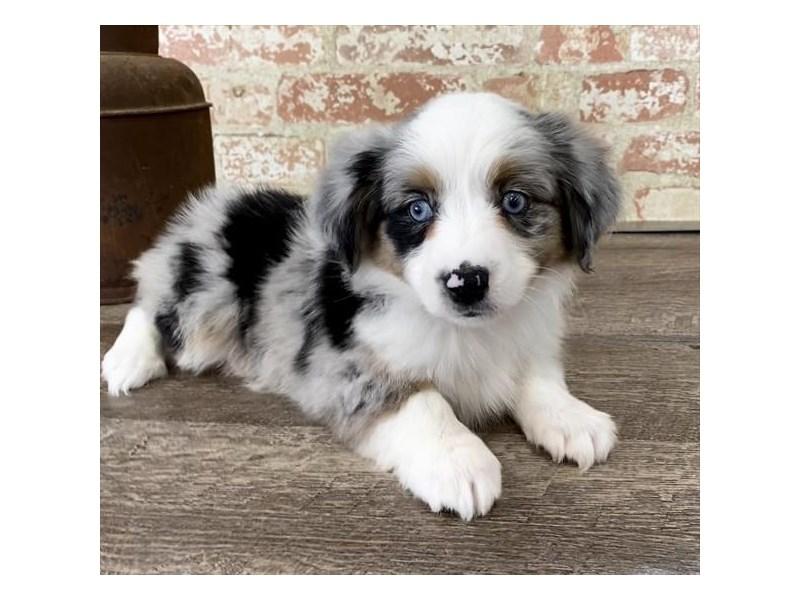 Miniature Australian Shepherd-DOG-Female-Blue Merle-2683408-Petland Naperville
