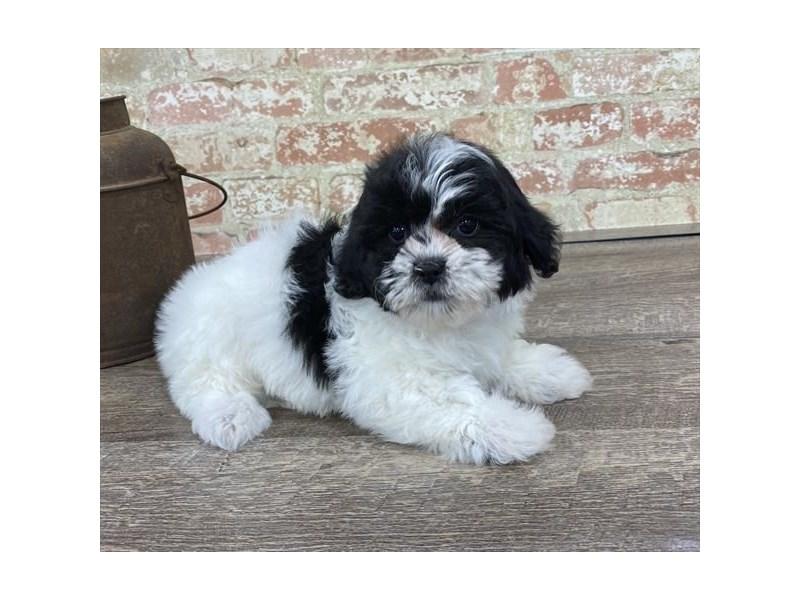 Teddy Bear-DOG-Female-Black / White-2683411-Petland Naperville