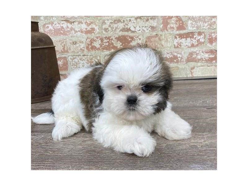 Shih Tzu-DOG-Male-Gold / White-2683412-Petland Aurora