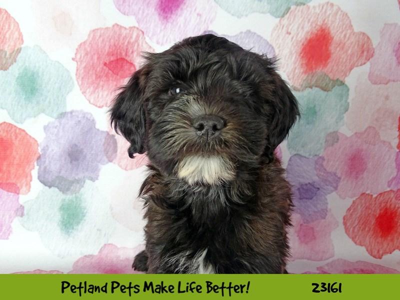 Whoodle-DOG-Male-Black-2688674-Petland Naperville
