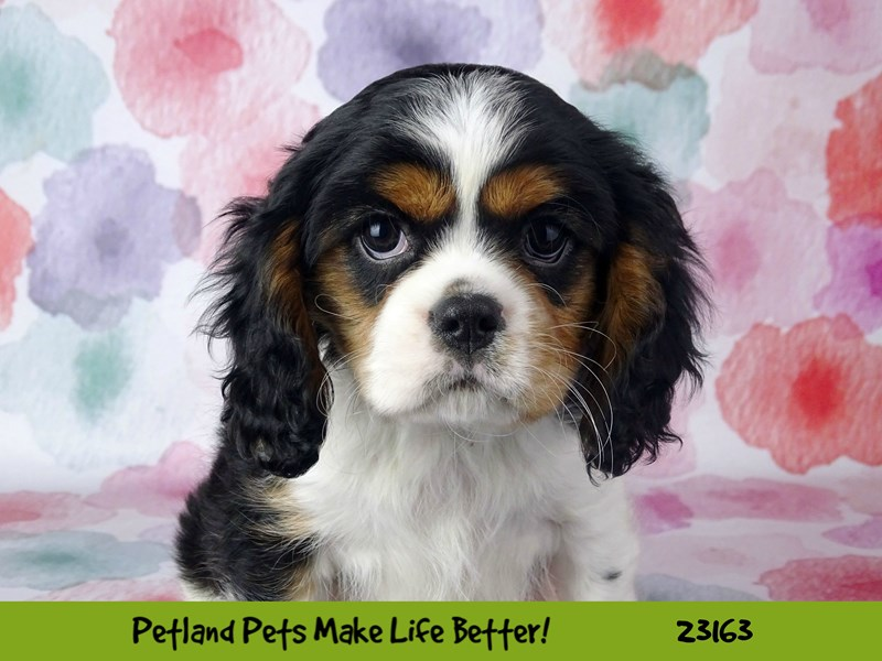 Cavalier King Charles Spaniel-Male-Black White / Tan-2688710-Petland Naperville