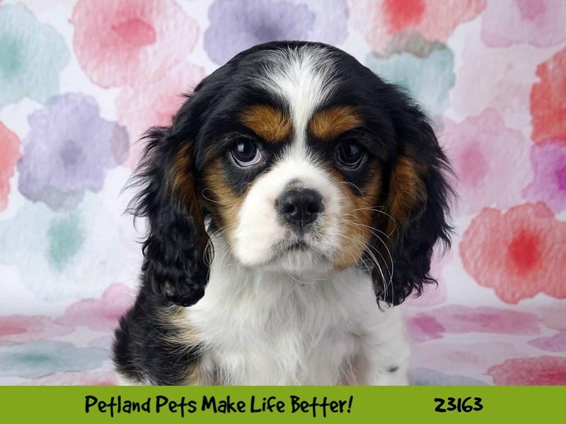 Cavalier King Charles Spaniel-DOG-Male-Black White / Tan-2688710-Petland Aurora
