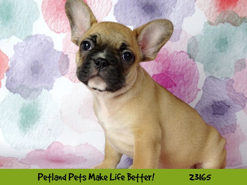 French Bulldog-Male-Red Fawn-2688787-Petland Naperville