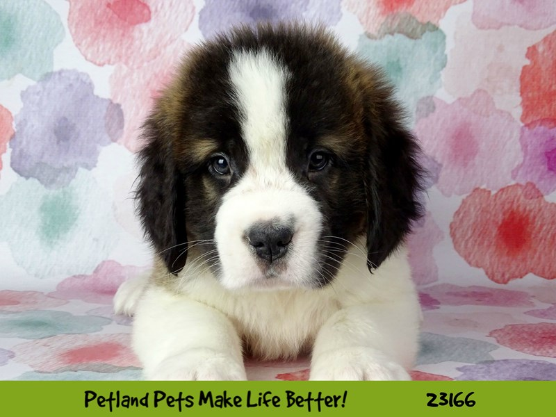 Saint Bernard-Male-Brown and White-2688896-Petland Naperville