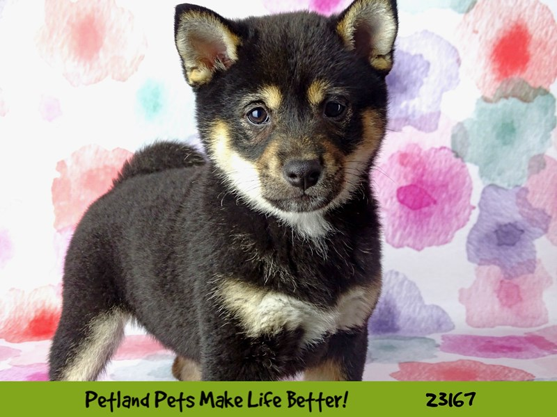Shiba Inu-DOG-Female-Black and Tan-2688954-Petland Naperville