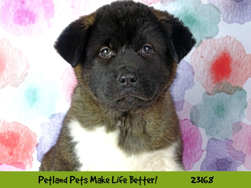 Akita-Male-Brown and White-2688999-Petland Naperville