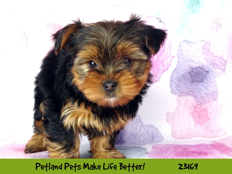 Yorkshire Terrier-DOG-Male-Black and Tan-2689017-Petland Naperville