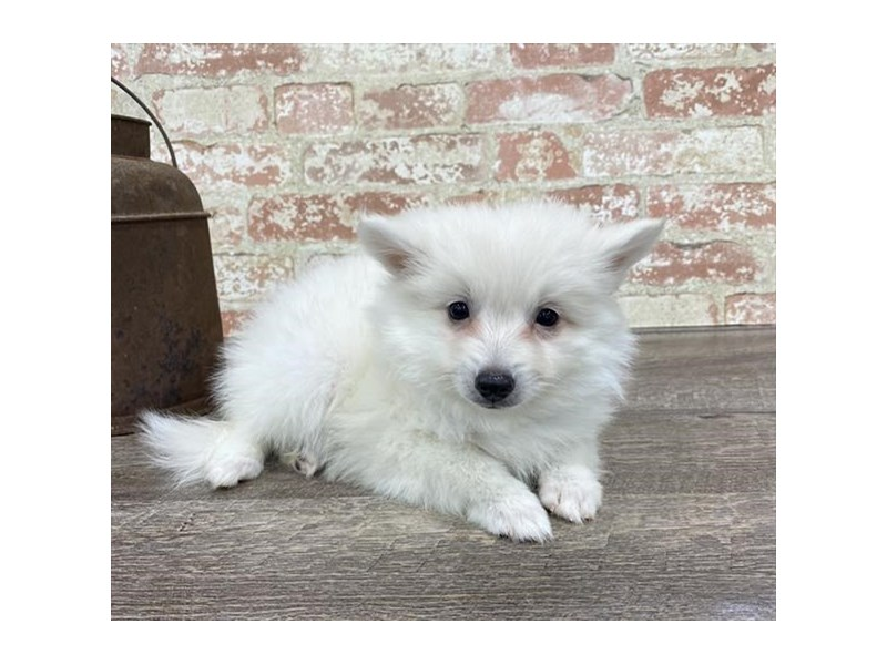 American Eskimo Dog-Female-White-2690281-Petland Naperville