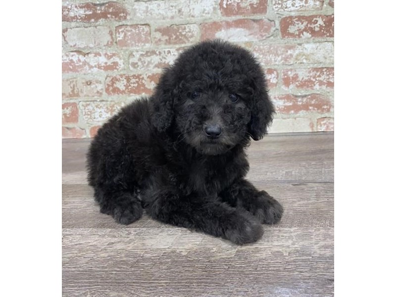 Standard Poodle-DOG-Female-Black-2690284-Petland Naperville