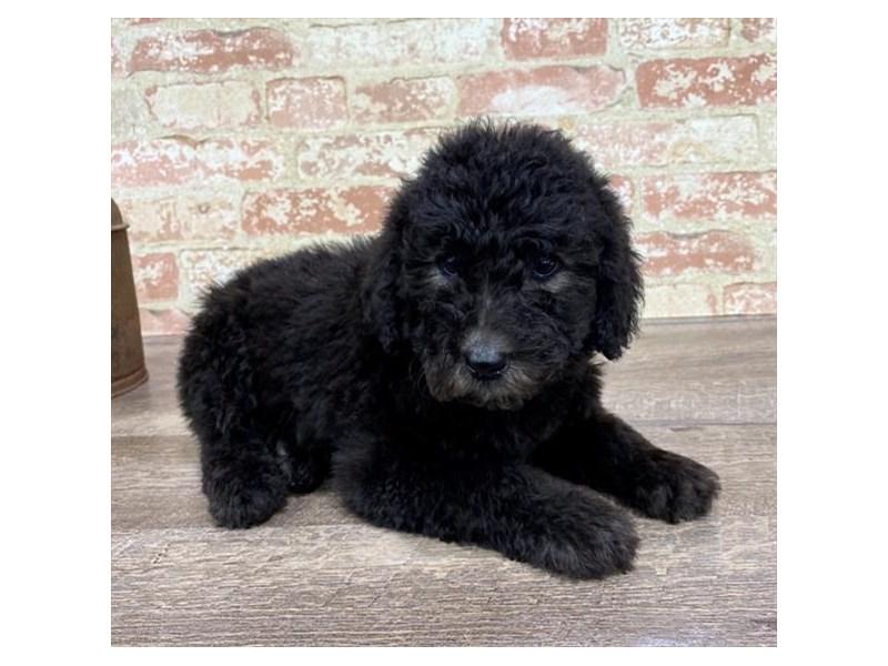 Standard Poodle-DOG-Male-Black-2690287-Petland Aurora