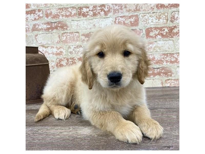 Golden Retriever-DOG-Female-Golden-2690296-Petland Naperville