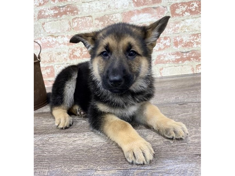 German Shepherd Dog-DOG-Female-Black / Tan-2690301-Petland Naperville