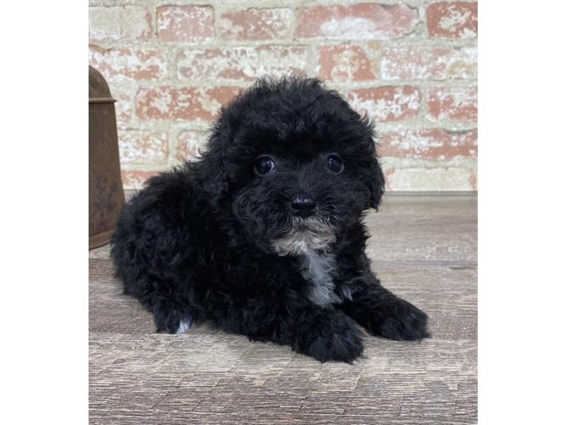 Poodle/Bichon Frise-DOG-Male-Black-2690423-Petland Aurora