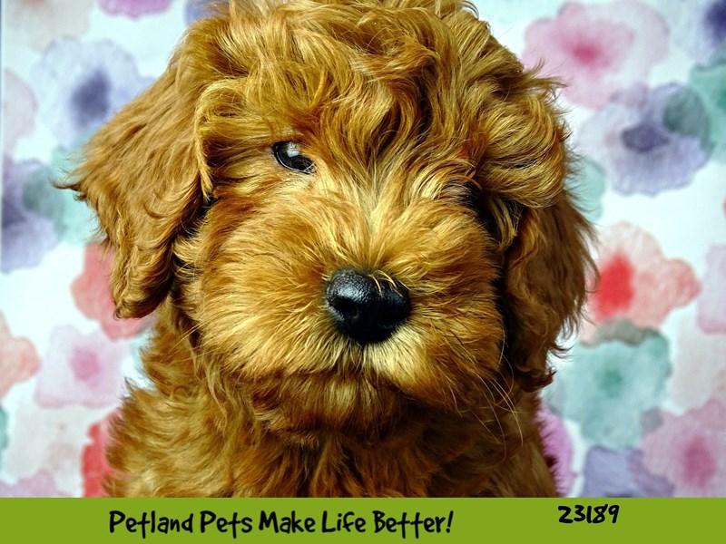 F1B Mini Goldendoodle-DOG-Female-Apricot-2695165-Petland Aurora