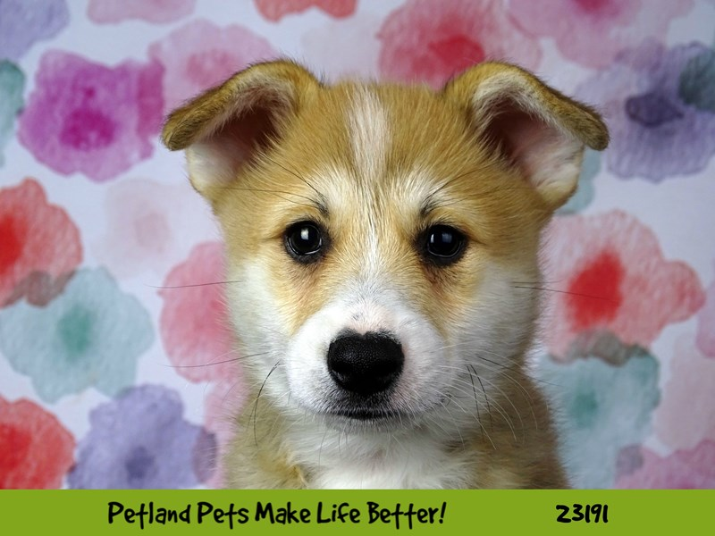 Pembroke Welsh Corgi-DOG-Male-sable/white-2695221-Petland Aurora