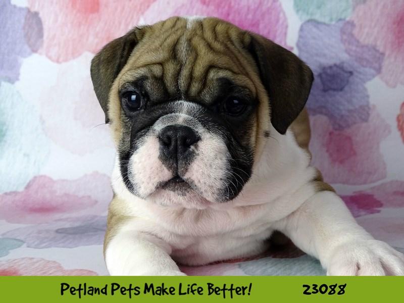 Bulldog-Male-Fawn / White-2658023-Petland Naperville
