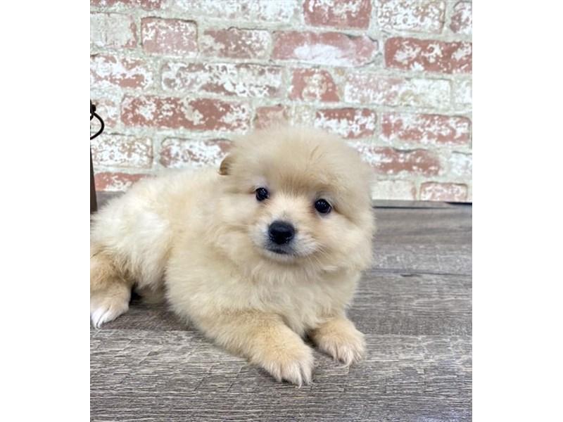 Pomeranian-Male-Orange-2676878-Petland Naperville