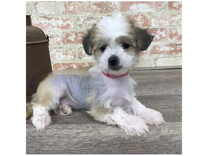Chinese Crested-Female--2683342-Petland Naperville