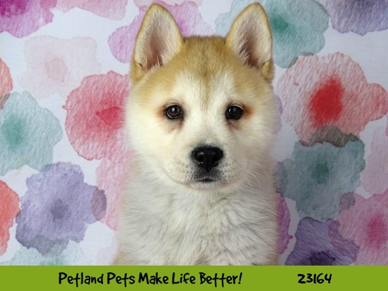 Chowsky-DOG-Male-Red / White-2688709-Petland Aurora