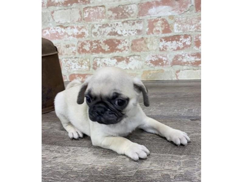 Pug-DOG-Female-Fawn-2690280-Petland Aurora