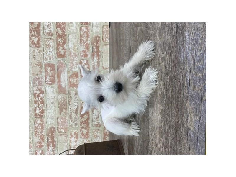 Miniature Schnauzer-DOG-Female-White-2690288-Petland Naperville