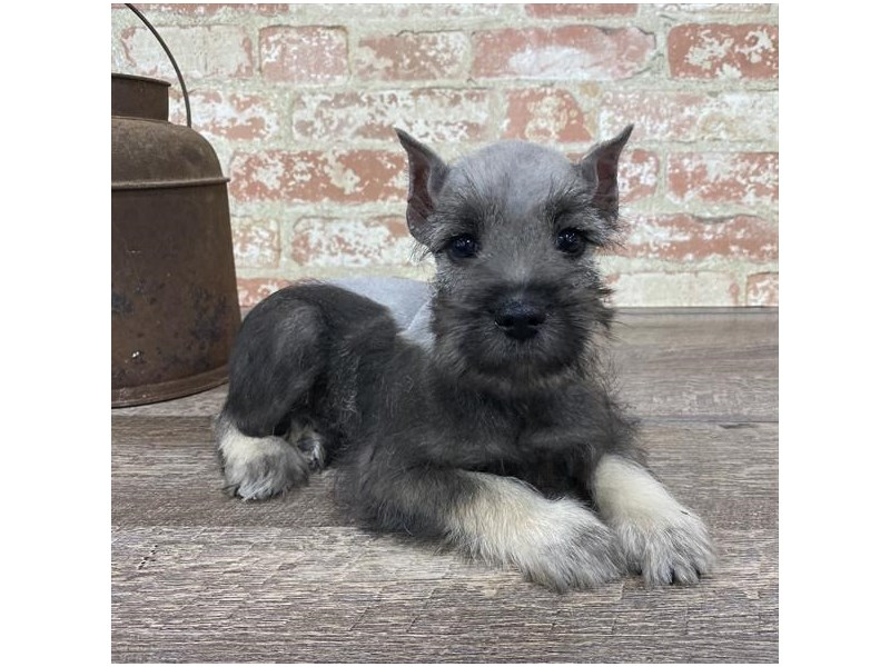 Miniature Schnauzer-DOG-Male-Salt / Pepper-2690290-Petland Naperville