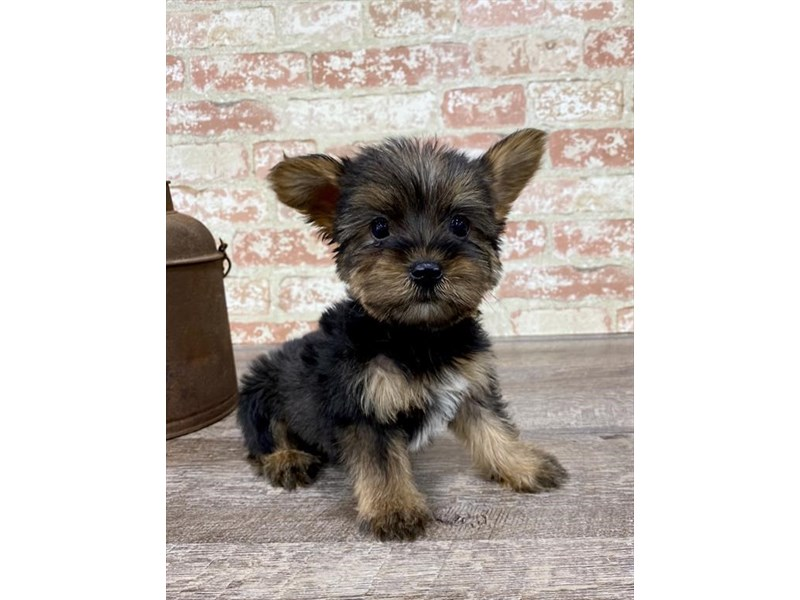 Yorkshire Terrier-Male-Black / Tan-2690291-Petland Naperville