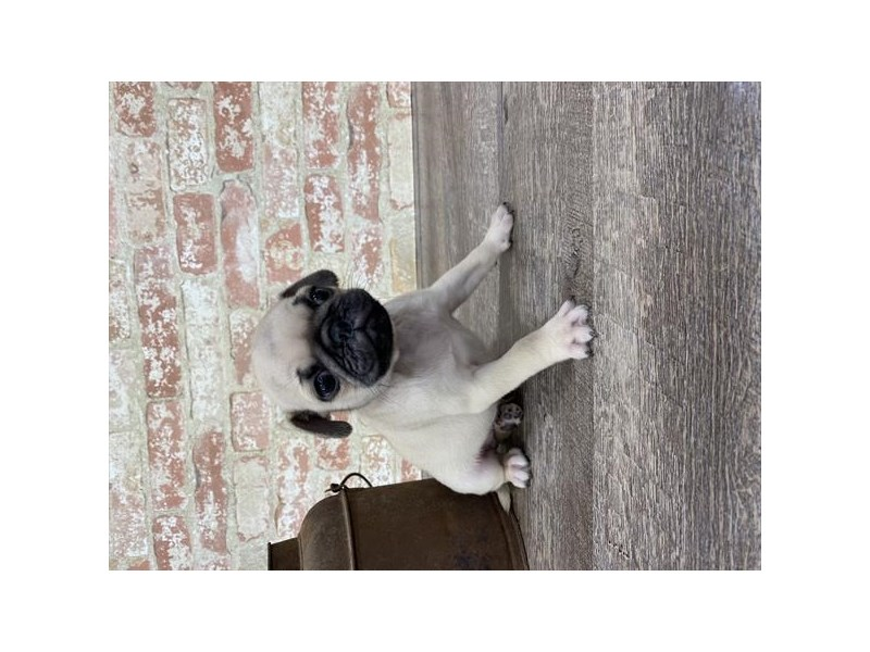 Pug-DOG-Male-Fawn-2690294-Petland Aurora