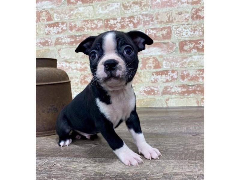 Boston Terrier-Male-Black / White-2690300-Petland Naperville